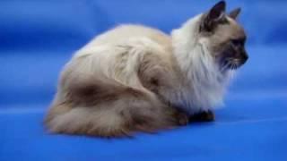 Невский маскарадный котенок дым