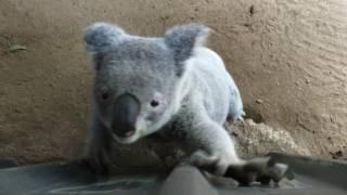 Australia, Sad Koala Bear wants to leave