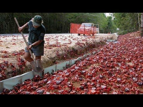E292 世界最幸福的螃蟹,不仅霸占了一座岛,还有人专门协助过马路