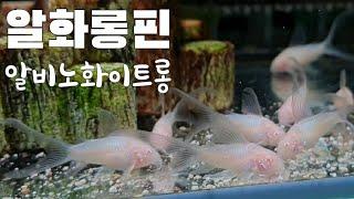 구피 알비노화이트롱핀 코리도라스 물멍 (플라밍고 레드 …