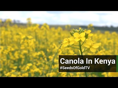 Canola Farming - Seeds Of Gold TV Season 2 Episode 12