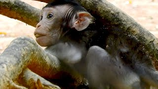 Baby Monkey THona Look Stuck With Root Of Tree, What Baby Monkey Doing  ?, Or Just Funny & Playing