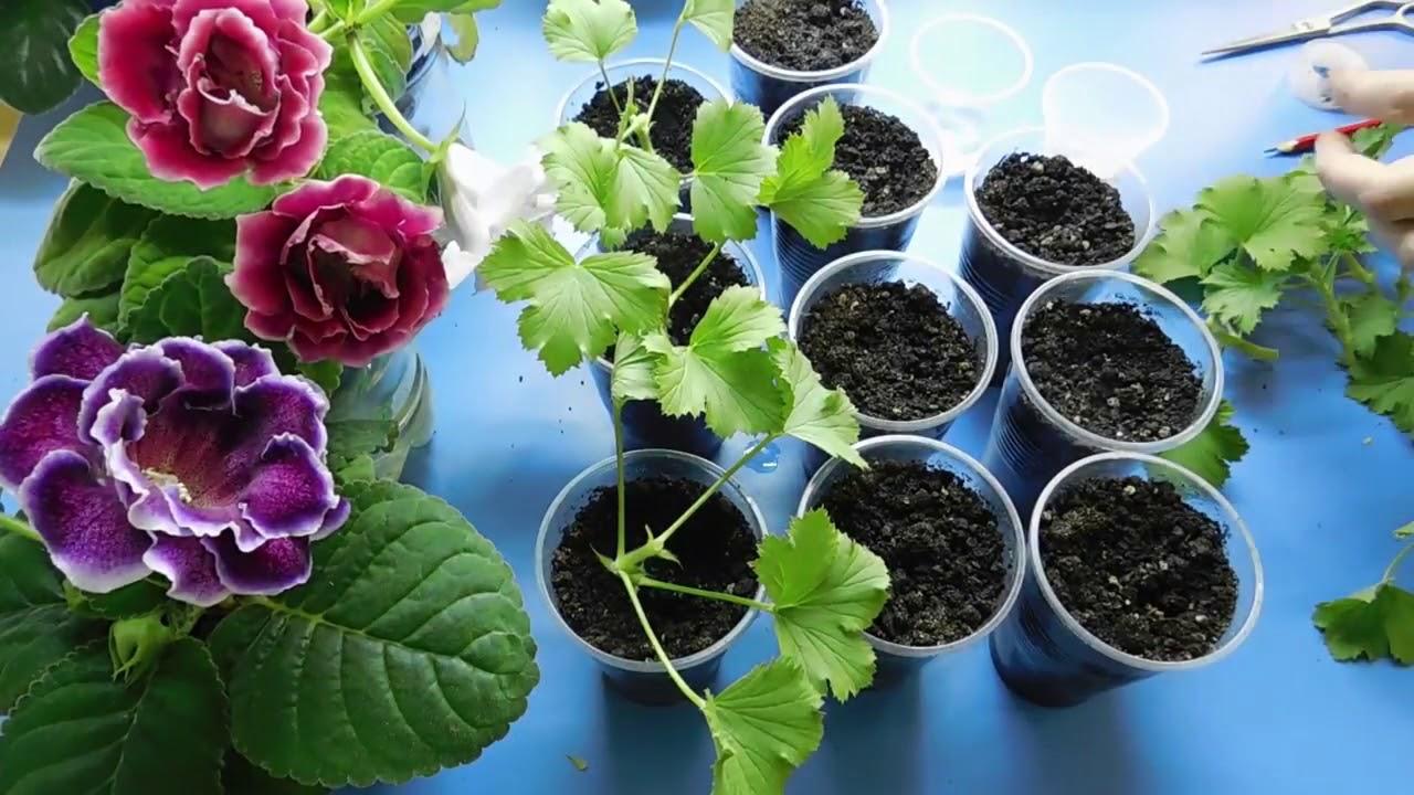Пеларгонию (герань) купить можно и для озеленения внутренних. Желаете купить герань в украине?. Изучите правила ухода за цветком, чтобы он.
