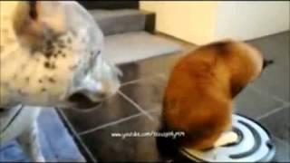 gulmeli pisikler