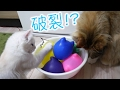 猫に水風船で遊ばせてみた