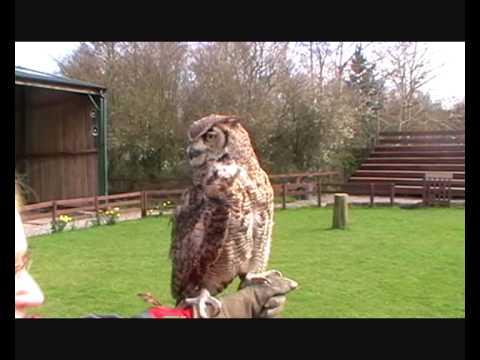 Cheshire Falconry - Obi - Eagle Owl