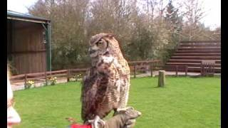 Cheshire Falconry - Obi - Eagle Owl