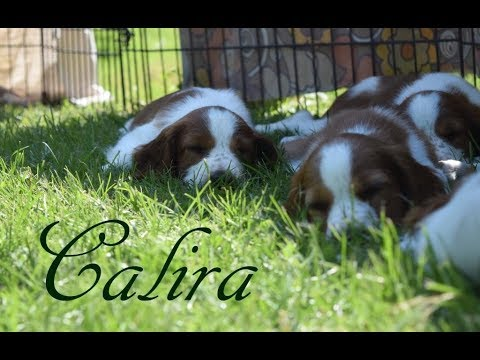Calira - Welsh Springer Spaniel 8 Weeks meets Cocker Spaniel first time