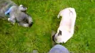 Wilf The Miniature Schnauzer And Winnie The Pug Best Friends