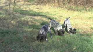 "German Shorthaired Pointer Puppies - Donau-wirbeln ""o"" Litter Black-white Females"