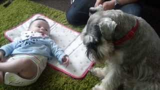 Wilbur the miniature schnauzer meeting baby jake