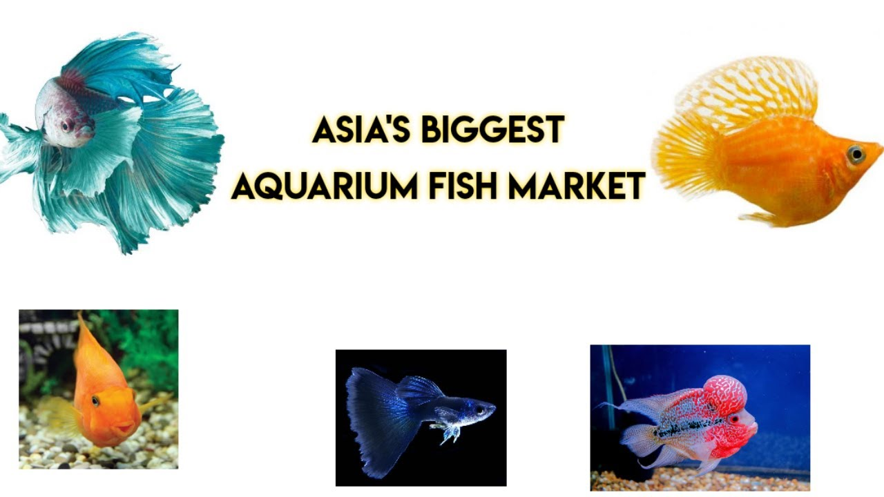 Asia\'s Biggest Aquarium Fish Market Kolathur (Chennai, Tamilnadu ...