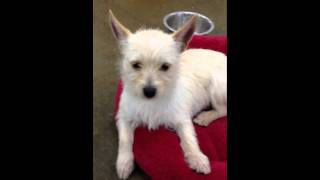 Buster - Terrier - Westie Mix - 6 Mo Puppy