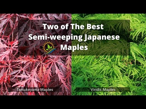 Two Of The Best Semi-weeping Japanese Maples    Tamukeyama And Viridis   Landscaping Ideas