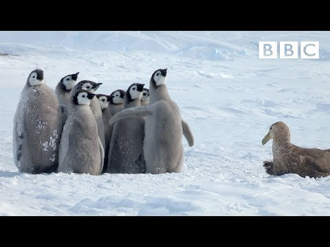 Penguin chicks rescued by unlikely hero