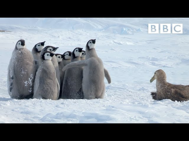 Penguin chicks rescued by unlikely hero | Spy in the Snow – BBC