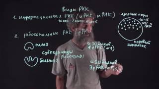 видео Рибонуклеиновая кислота. АТФ
