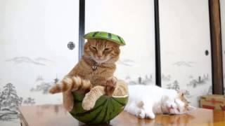 【癒やし動画】スイカを頭に乗せて、スイカでバランスをとる茶トラ猫