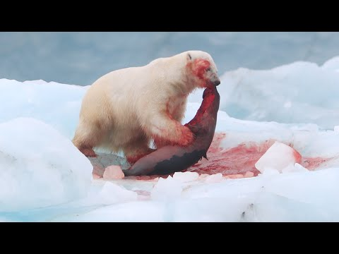 Polar Bear vs Harp Seal