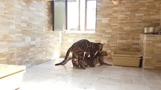 Gato Bengal - Acasalamento de Bengal - Gatil Play Bengal