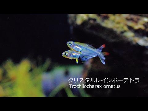 #32.極美カラシン熱帯魚の飼育記録 part3 飼育レポート(Trochilocharax ornatus