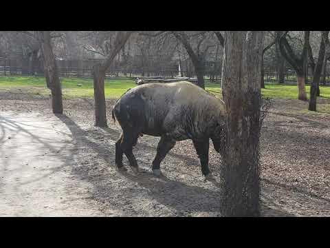 A bull of Mishmi takin