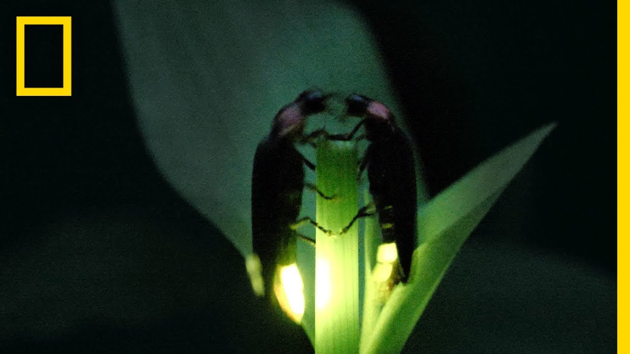Fireflies Put on a Spectacular Mating Dance | Short Film Showcase