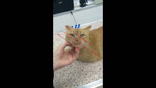 Маруся  -  донор крови. Помогаем выжить кошке после отравления