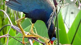 Purple Gallinule (Porphyrio martinica) Bird Eating Seeds - Wakodahatchee Wetlands, Delray Beach, FL