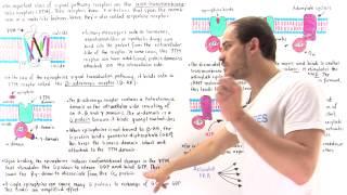 Epinephrine Signal Transduction Pathway