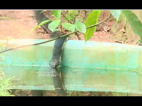 King Cobra mating  fails to yield results, eggs unhatched, Kerala, Parassinikkadavu Snake Park