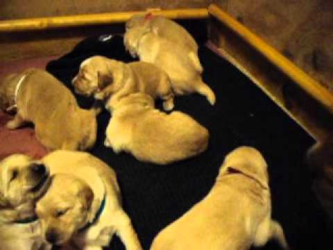 Golden Retriever Puppy Litter 05-18-2012