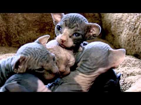 Baby Sphynx Kittens!
