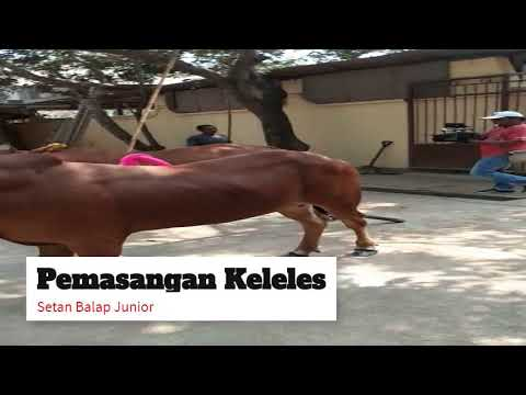 Karapan sapi ..(proses latihan biasa) Tim SETAN BALAP Jr. H.syafiudin Feat KL. Lantek temor H.Hamdan
