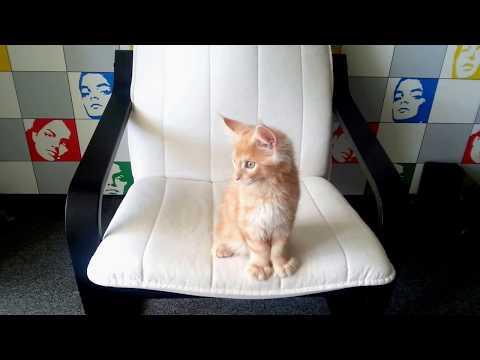Мейн-кун, полидакт, возраст 2,5 месяца