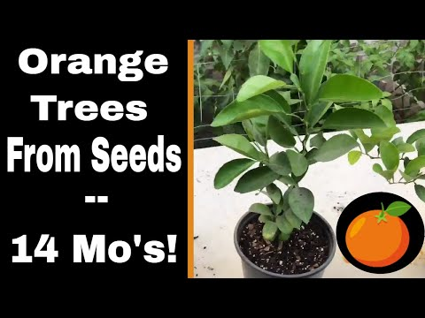 Growing Orange Trees From Seed - 14 Months!