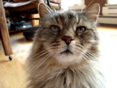 Maine coon grounded for staying out too late
