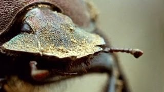 Flight of the Dung Beetle - Narrated by David Attenborough - Operation Dung Beetle - BBC