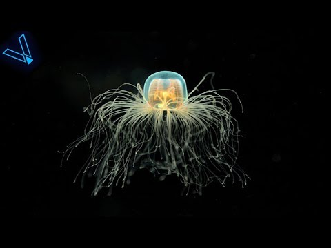 The Strange But Incredible Immortal Jellyfish