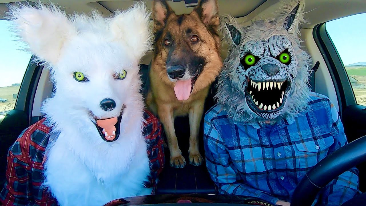Wolf Surprises Dog With Dancing Car Ride!