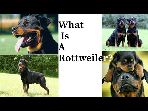 What Is A Rottweiler???