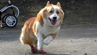 右後足の動きが悪くなりすぎて残念ながら走れてないです。 ゴローさんの...