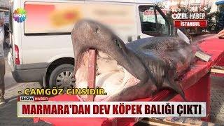 Marmara'dan dev köpek balığı çıktı