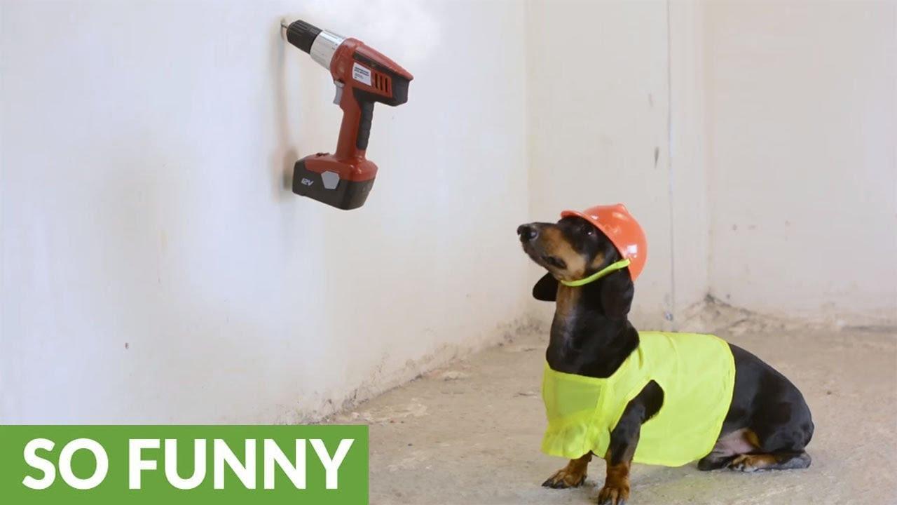 Dachshund Helps Repair New Apartment