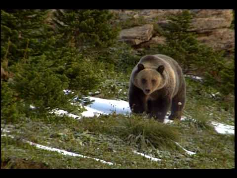 Grizzly Bear - National Park Animals for Kids