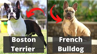 Boston Terrier vs French Bulldog: Detailed Comparison of the two dog breeds