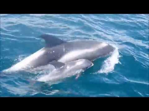 AK Wildlife Cruise 04/07/16 - White Beaked Dolphins!!!