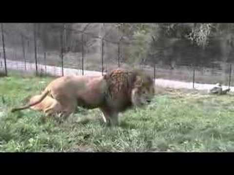 "Lion Protecting ""Girl"""