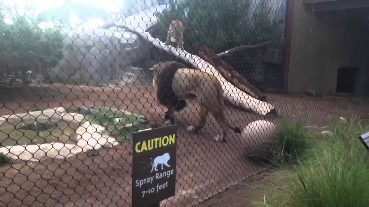 Lions Playing At The San Diego Zoo Youtube