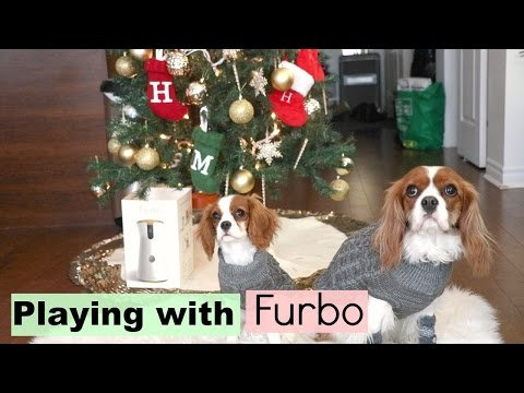 Furbo Dog Camera   Herky & Milton Cavalier King Charles puppy   Playing with Christmas present